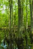 Болото Cypress, трассировка Natchez, MS Стоковые Фотографии RF