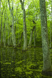 Болото Cypress, трассировка Natchez, MS Стоковое Фото