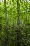 Болото Cypress, трассировка Natchez, MS Стоковые Изображения