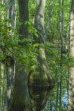 Болото Cypress, трассировка Natchez, MS Стоковое Изображение RF