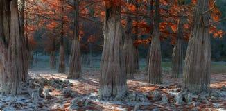Болото Cypress Стоковые Изображения
