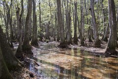 Болото Cypress Стоковое Фото