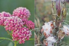 Болото wilkweed (incarnata Aselepias) во время blossoming и образования семян Стоковые Фото