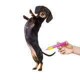 Больная больная собака с болезнью и шприцем вакцины стоковые изображения rf