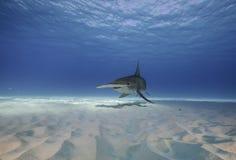 Большая акула молота подводная Стоковое Изображение RF