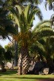 Большая ладонь canariensis Феникса Даты Canaries, символ Тенерифе, Испания Стоковое Фото