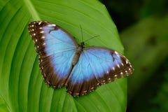 Большая бабочка голубое Morpho, peleides Morpho, сидя на зеленых листьях, Коста-Рика стоковые фотографии rf