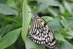 Большая бабочка нимф дерева и зеленые лист Стоковое Изображение
