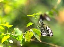 Большая бабочка нимф дерева Стоковое Изображение RF
