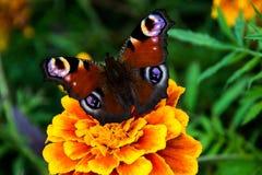 Большая бабочка с цветами 1 глаза форменными Стоковые Изображения