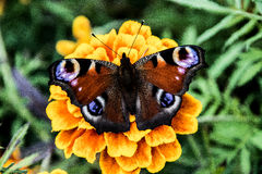 Большая бабочка с цветами 2 глаза форменными Стоковые Фото