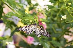 Большая бабочка Morpho Стоковое фото RF