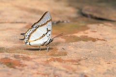 Большая бабочка Nawab (eudamippus Polyura) стоковые фотографии rf