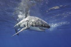 Большая белая акула Мексика Стоковые Изображения