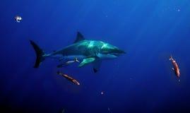 Большая белая акула, остров Guadalupe, Мексика Стоковое Изображение RF