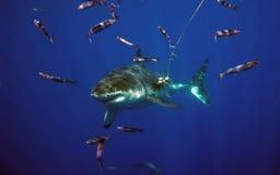 Большая белая акула, остров Guadalupe, Мексика Стоковое Изображение