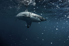 Большая белая акула подводная Стоковое Изображение