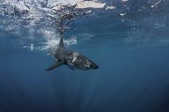Большая белая акула подводная Стоковая Фотография RF