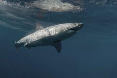 Большая белая акула подводная Стоковые Фото
