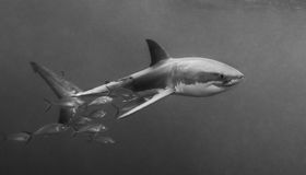 Большая белая акула южная Австралия Стоковое фото RF