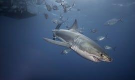 Большая белая акула южная Австралия Стоковые Изображения RF