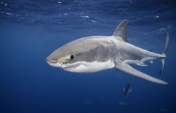 Большая белая акула южная Австралия Стоковая Фотография