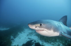 Большая белая акула южная Австралия Стоковое Изображение