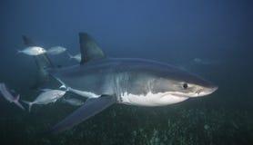 Большая белая акула южная Австралия Стоковые Фотографии RF