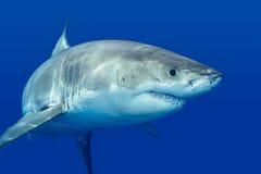 Большая белая акула Стоковое Изображение