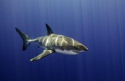 Большая белая акула Guadalupe Мексика Стоковая Фотография