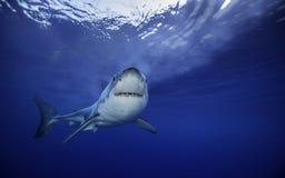 Большая белая акула Guadalupe Мексика Стоковые Фотографии RF
