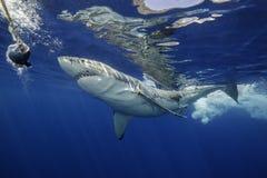 Большая белая акула Guadalupe Мексика Стоковые Фото