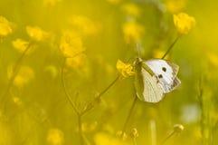 Большая белая бабочка на желтом цветке Стоковое Изображение