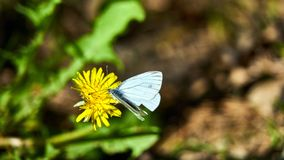 Большая белая бабочка на цветке Стоковая Фотография RF