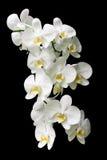 Большая белая ветвь орхидеи изолированная на черной предпосылке Стоковые Изображения RF