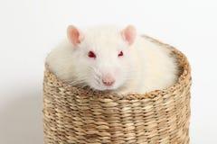 Большая белая крыса лежит в плетеной корзине Стоковое Изображение RF