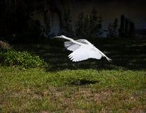 большая белая муха egret Стоковые Фото
