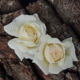 Большая белая роза на предпосылке коры дерева Стоковая Фотография RF