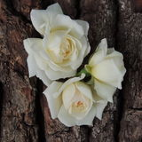 Большая белая роза на предпосылке коры дерева Стоковые Изображения RF
