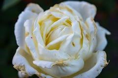 Большая белая роза на свойстве на деревне Стоковое Изображение RF