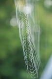 Большая белая сеть паука в росе в утре на зеленой предпосылке лета Стоковая Фотография RF