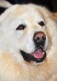 Большая белая собака стоковое изображение
