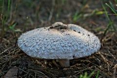 большая белизна гриба Стоковые Фото