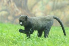 Большая бело-обнюханная обезьяна Стоковые Фото