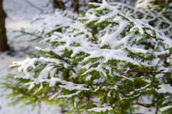Большая ветвь мех-дерева с снегом стоковая фотография
