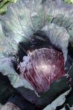 Большая голова красной капусты Стоковая Фотография