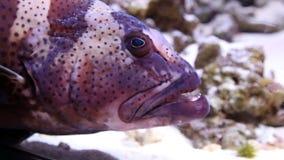 Большая голова морского окуня видеоматериал