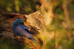 Большая голубая ара гиацинта попугая, hyacinthinus Anodorhynchus, в отверстии гнезда дерева, Pantanal, Бразилия, Южная Америка Стоковое Изображение