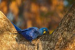 Большая голубая ара гиацинта попугая, hyacinthinus Anodorhynchus, в полости гнезда дерева, Pantanal, Боливия, Южная Америка Стоковые Изображения RF