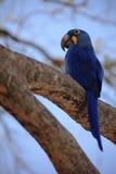 Большая голубая ара гиацинта попугая, hyacinthinus Anodorhynchus, сидя на ветви с голубым небом, Pantanal, Бразилия, Южная Америк Стоковые Фото